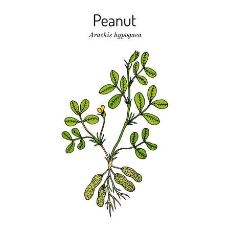 Peanut, or groundnut Arachis hypogaea