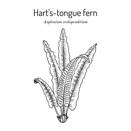 Harts-tongue fern Asplenium scolopendrium , ornamental and medicinal plant.