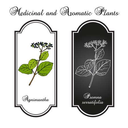 Agnimantha Premna serratifolia , medicinal plant