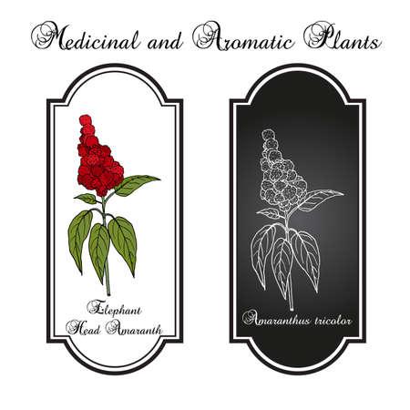 Elephant-head amaranth Amaranthus gangeticus, or tricolor , medicinal plant Ilustracja