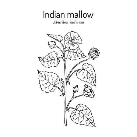 Indian abutilon or mallow Abutilon indicum , medicinal plant