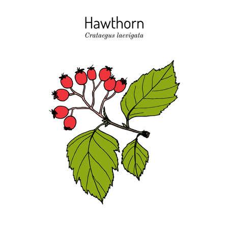 English hawthorn Crataegus laevigata , or mayflower, medicinal plant Vectores