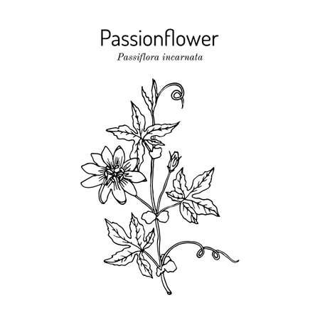 Purple passionflower Passiflora incarnata , medicinal plant. Vecteurs