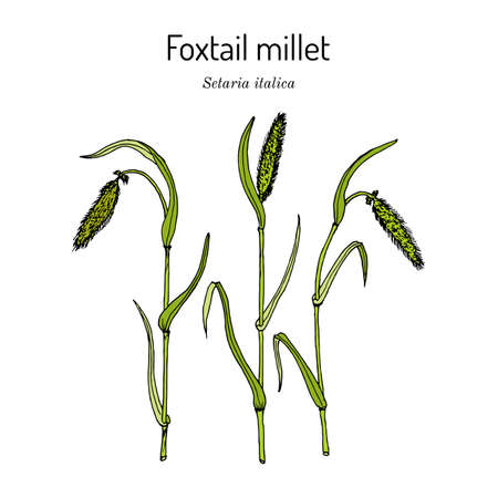 Foxtail millet Setaria italica , edible and forage plant