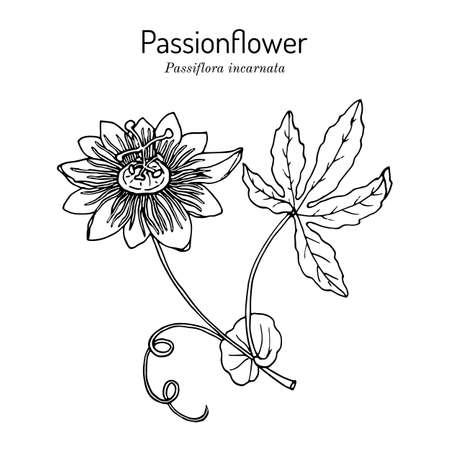 Purple passionflower Passiflora incarnata , medicinal plant