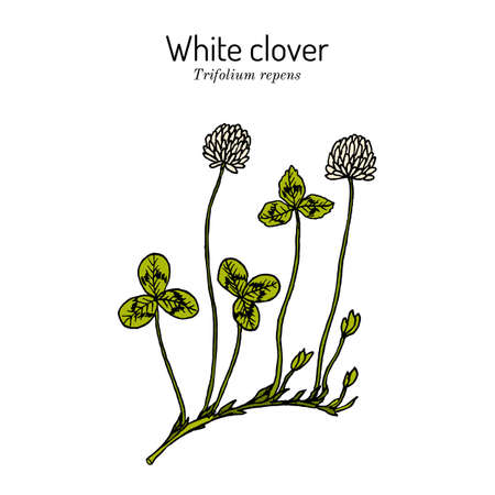 White clover Trifolium repens , forage and medicinal plant Çizim