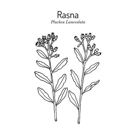 Rasana, or Rasna pluchea lanceolata , medicinal plant