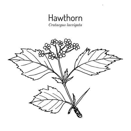 English hawthorn Crataegus laevigata , or mayflower, medicinal plant