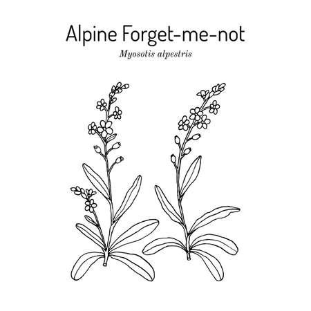 Alpine forget-me-not Myosotis alpestris , state flower of Alaska Иллюстрация