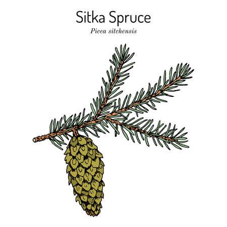 Sitka spruce Picea sitchensis , coniferous, evergreen plant Иллюстрация