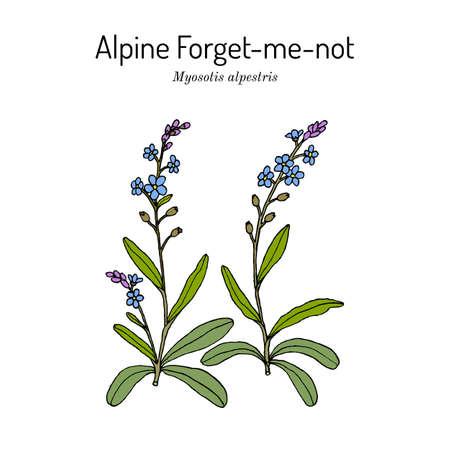 Alpine forget-me-not Myosotis alpestris Иллюстрация