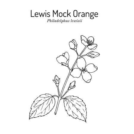 Lewis mock-orange Philadelphus lewisii , state flower of Idaho