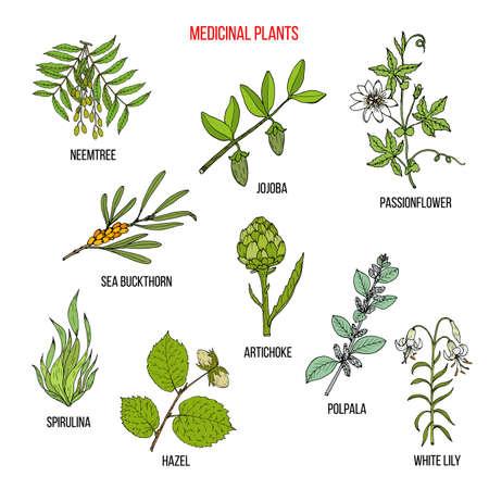 Medicinal herbs collection Ilustração Vetorial