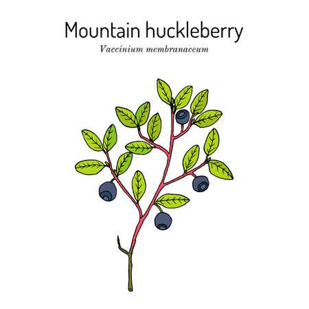 Mountain huckleberry, edible and medicinal plant