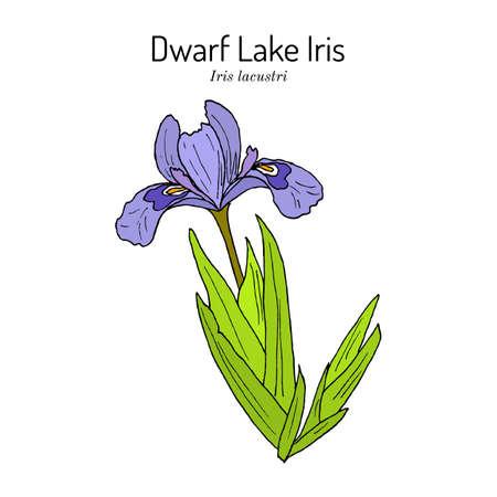 Dwarf lake iris Iris lacustris , state wild flower of Michigan Ilustração Vetorial