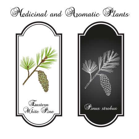 Eastern white pine Pinus strobus , mtdicinal plant, Michigan and Maine State Tree