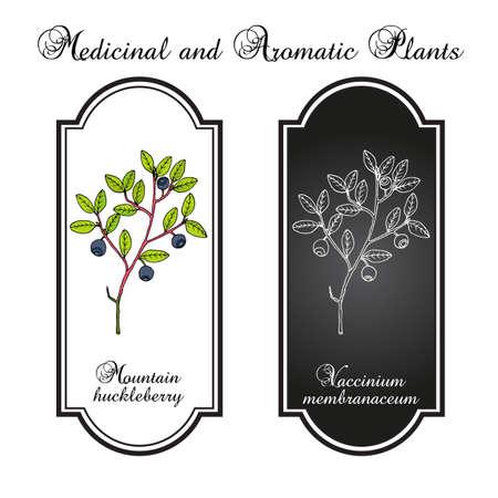 Mountain huckleberry Vaccinium membranaceum illustration