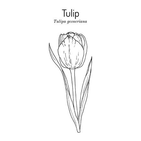 Garden tulip flower Tulipa gesneriana , ornamental plant
