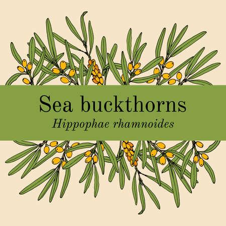 Sea-buckthorn hippophae rhamnoides , edible and medicinal plant 向量圖像