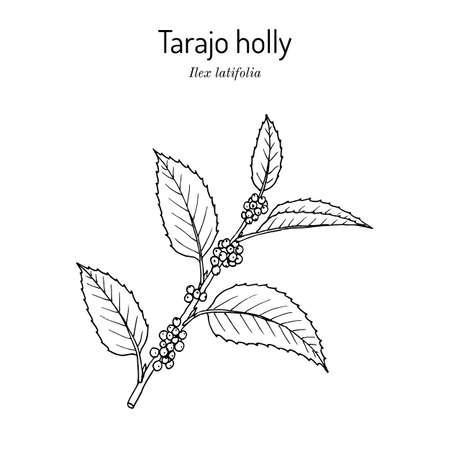 Tarajo holly Ilex latifolia , edible and medicinal plant. 向量圖像