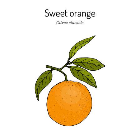 Sweet orange branch citrus sinensis , edible juicy fruit