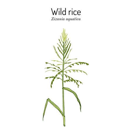 Wild rice (Zizania aquatica), state grain of Minnesota