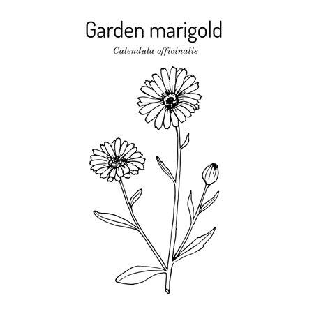 Common marigold Calendula officinalis , medicinal plant