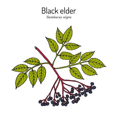 European black elderberry sambucus nigra , medicinal plant
