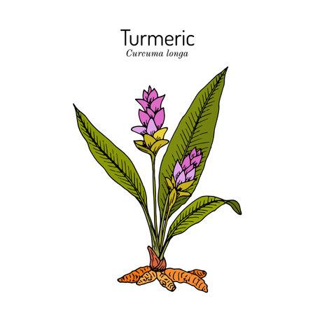 Curcuma zedoaria, zedoary, white turmeric or kentjur, medicinal plant Иллюстрация