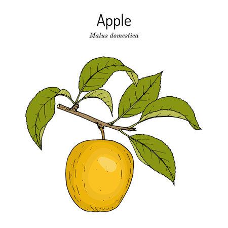 Apple fruit Malus domestica , edible plant