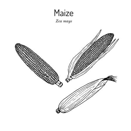 Sweet corn, Maize cob Zea mays Иллюстрация