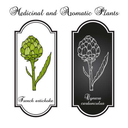 French, globe or green artichoke Cynara cardunculus , edible and medicinal plant