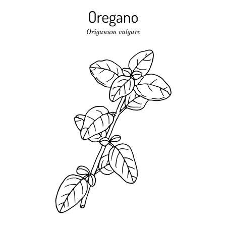 Kitchen herbs and spice. Oregano Origanum vulgare. Иллюстрация