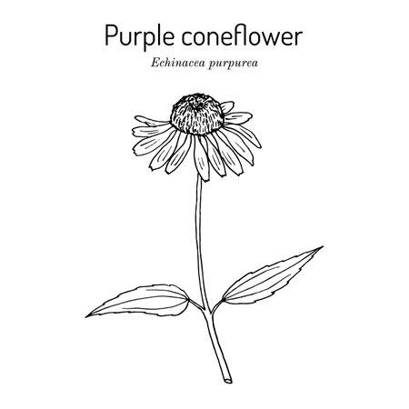 Purple coneflower echinacea purpurea , medicinal plant