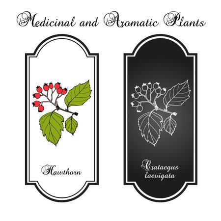 English hawthorn Crataegus laevigata , or mayflower, medicinal plant Иллюстрация
