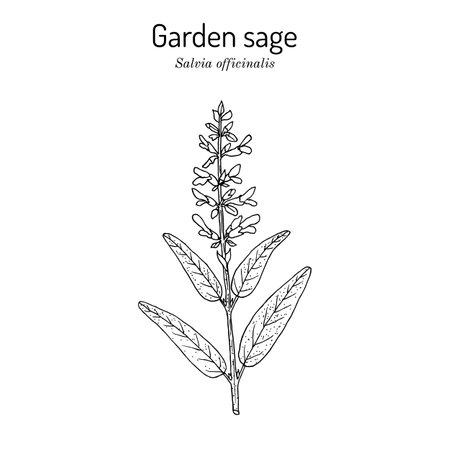 Garden sage Salvia officinalis, medicinal plant
