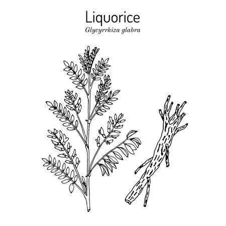 Liquorice Glycyrrhiza glabra, medicinal plant.
