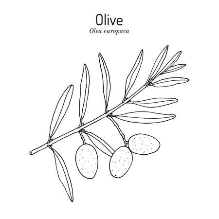 Olive Olea europaea, edible and medicinal plant