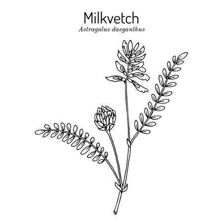 Milkvetch astragalus dasyanthus, medicinal plant