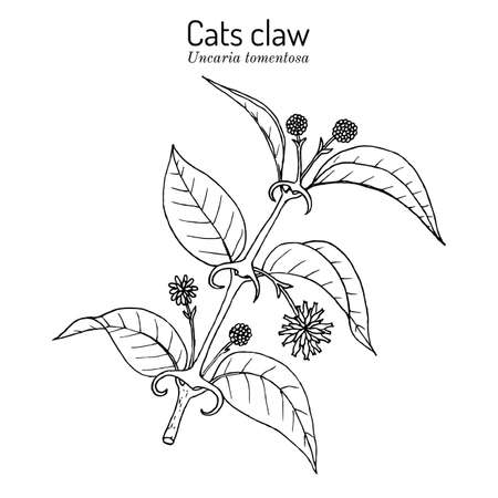 Cats claw Uncaria tomentosa , or vilcacora, medicinal plant