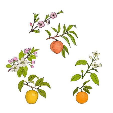 Apple, peach and orange blossom and fruit Иллюстрация