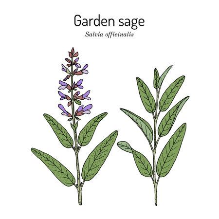 Garden sage Salvia officinalis , medicinal plant