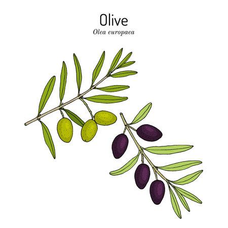 Olive Olea europaea , edible and medicinal plant