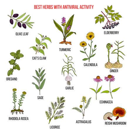 Best herbs with antiviral activity