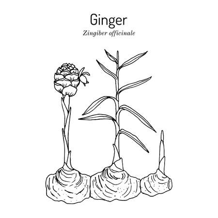 Ginger root, Zingiber officinale, edible and medicinal plant