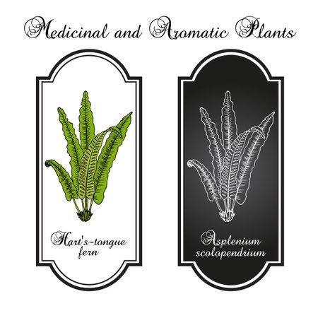 Harts-tongue fern Asplenium scolopendrium, ornamental and medicinal plant