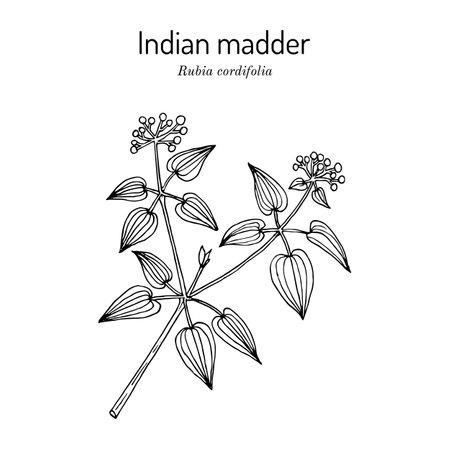 Manjistha Rubia cordifolia, or Indian madder, medicinal plant