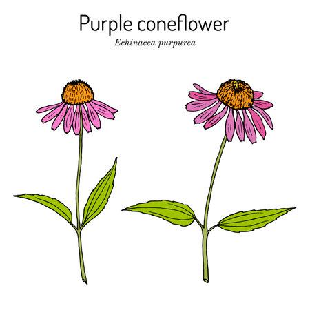 Purple coneflower echinacea purpurea, medicinal plant