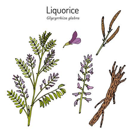 Liquorice Glycyrrhiza glabra , medicinal plant