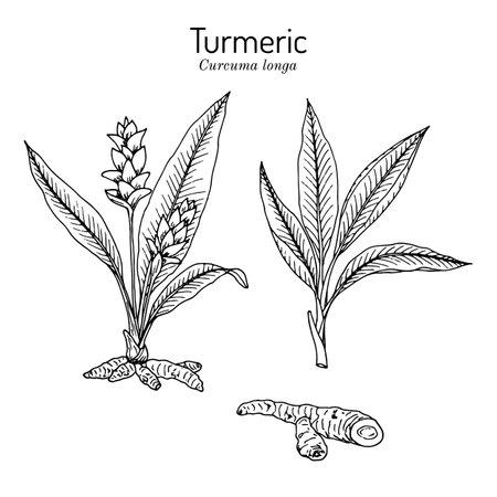 Curcuma zedoaria, zedoary, white turmeric or kentjur, edible and medicinal plant